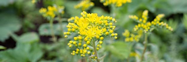 Gelbe sedum reflexum oder sedum rupestre blume in voller blüte auf einer oberfläche aus grünen blättern