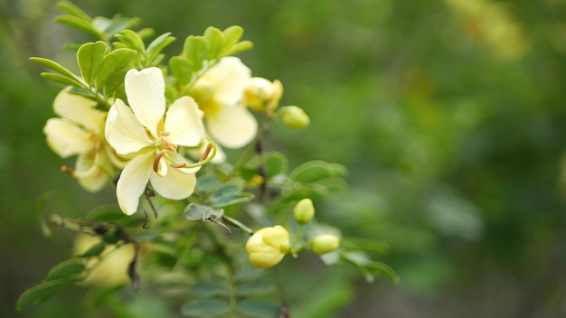 Gelbe sennesblüte im garten, kalifornien usa. cassia candlewood frühlingsblüte botanische blüte