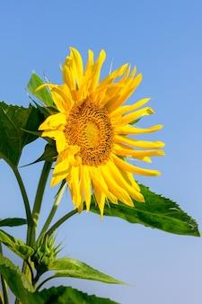 Gelbe sonnenblume auf einem blauen himmel