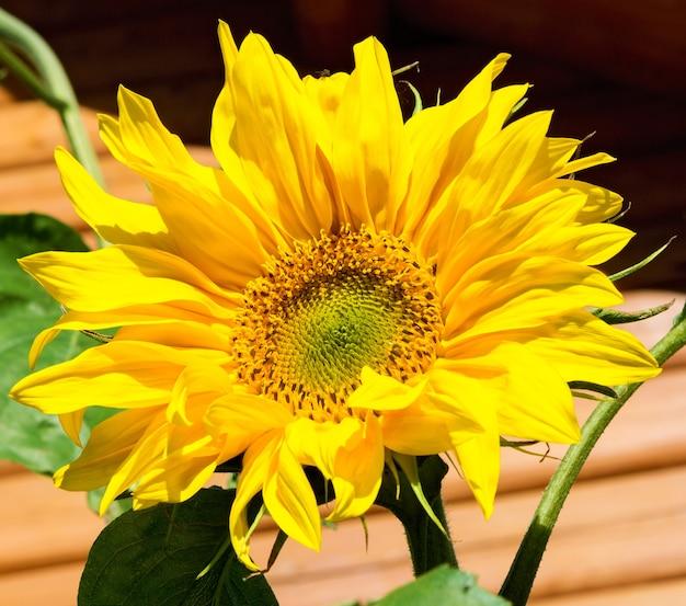 Gelbe sonnenblume auf holzuntergrund, herbstkonzept.