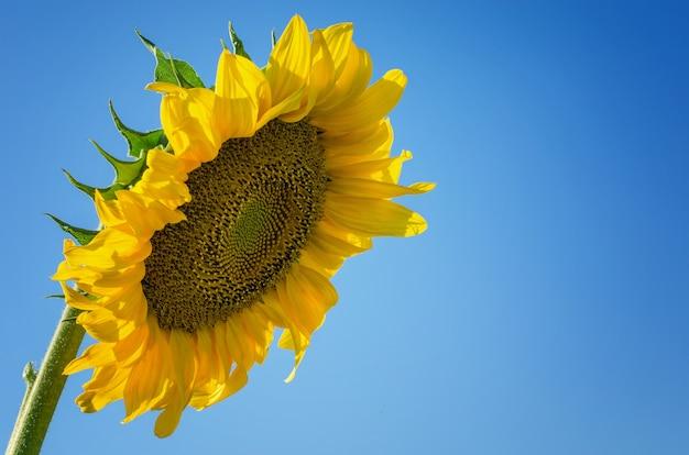 Gelbe sonnenblume gegen den blauen himmel