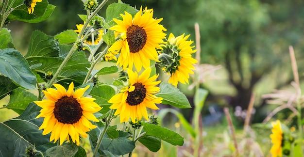 Gelbe sonnenblumenblumen auf unscharfem hintergrund