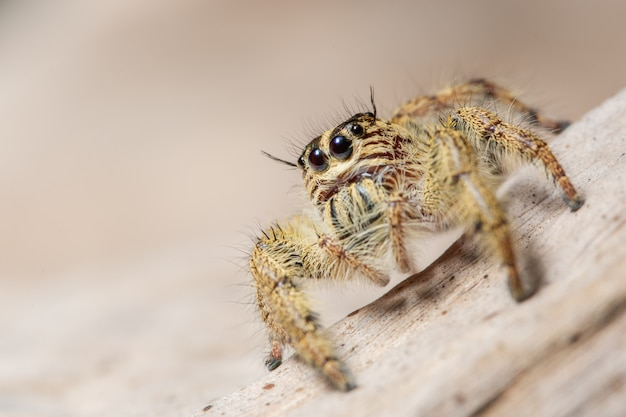 Gelbe spinnenmakros