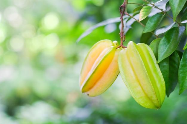 Gelbe stachelbeere ist eine gruppe von bäumen, die in thailand früchte tragen und gesundheitliche vorteile haben.