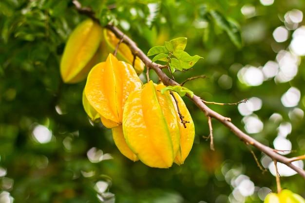 Gelbe sternapfelfrucht in einem baum