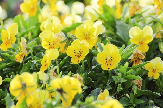 Gelbe stiefmütterchenblume im garten.