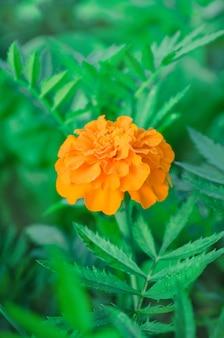 Gelbe tagetes erecta oder mexikanische ringelblume.