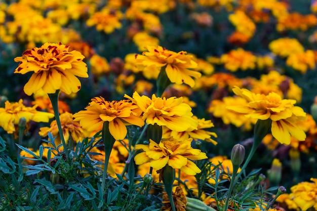 Gelbe tagetes patula blüht französische ringelblumenblumen in der blüte