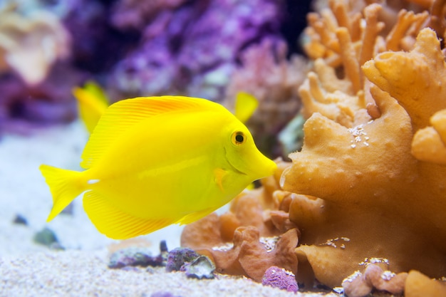 Gelbe tang fische zebrasoma flavesenes