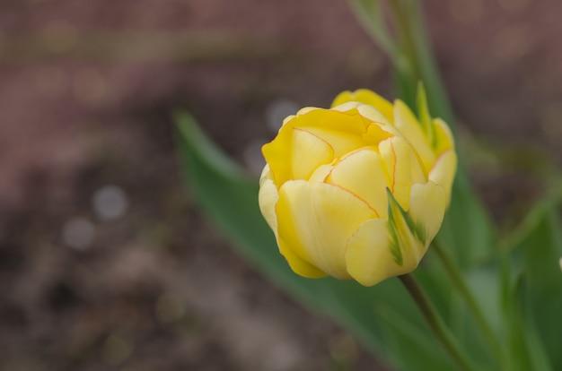 Gelbe tulpe akebono