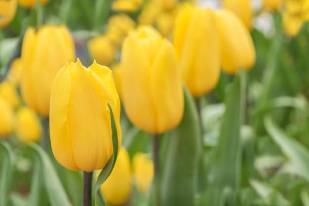 Gelbe tulpe im blumenbeet im frühjahr bei rayong