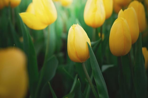Gelbe tulpe im garten