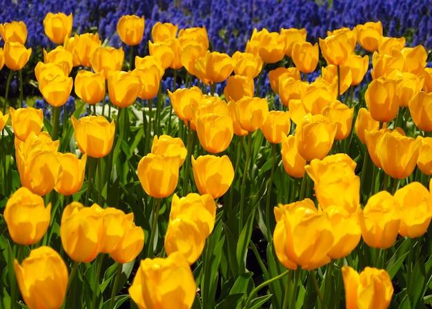 Gelbe tulpen im keukenhof-park