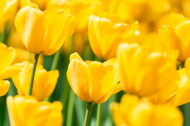 Gelbe tulpen schließen herauf hintergrund