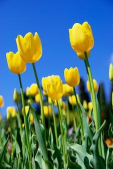 Gelbe tulpen und himmel