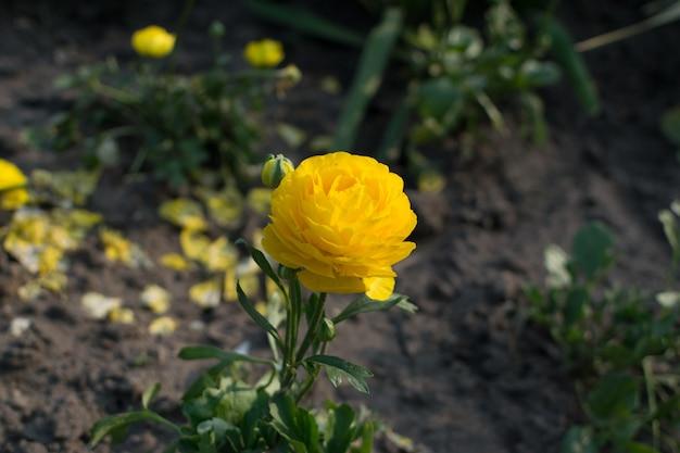 Gelbe tulpenblume mit unscharfem hintergrund schließen oben. blühende tulpenblüten mit bokeh