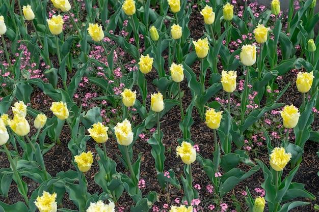 Gelbe tulpenblume mit unscharfem hintergrund schließen oben.
