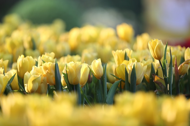 Gelbe tulpenblumen im sonnenuntergang