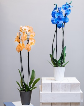 Gelbe und blaue mottenorchideenblumen im topf