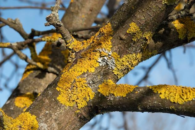 Gelbe und blaue und graue flechten auf einem baum