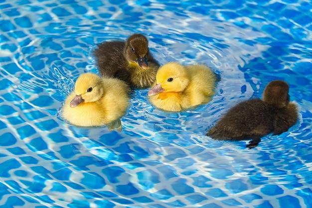 Gelbe und braune kleine süße entenküken im schwimmbad.