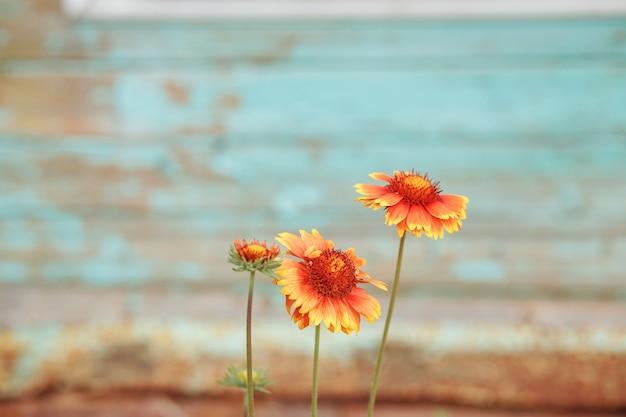 Gelbe und orange blumen vor türkisfarbener schäbiger alter wand.