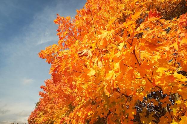 Gelbe und orange kronen von herbstbäumen gegen den blauen himmel