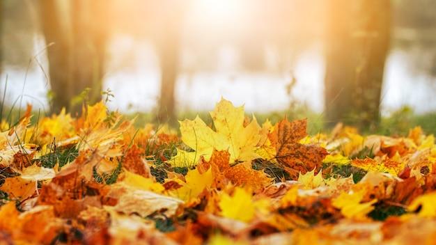 Gelbe und orangefarbene ahornblätter im wald auf dem boden im sonnenlicht. herbsthintergrund mit gefallenen blättern