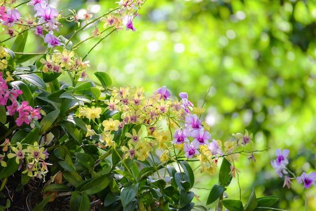 Gelbe und purpurrote orchidee der orchideenblume, die auf grüner natur blüht