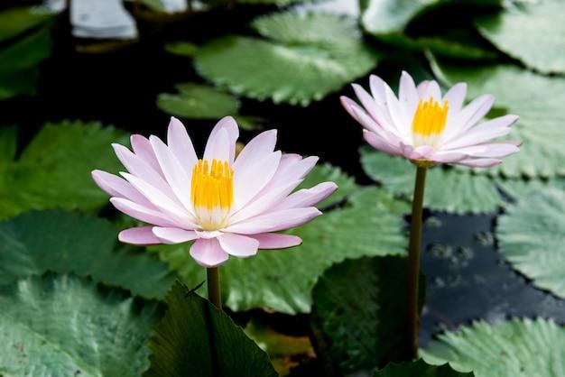 Gelbe und rosa lotosknospen und blühen wunderschön