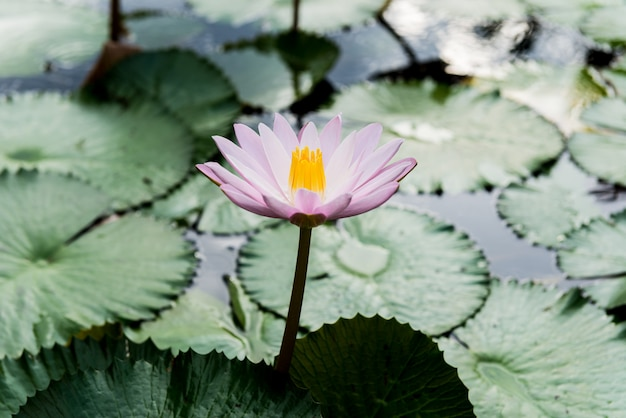 Gelbe und rosafarbene lotosknospen und -blüte schön