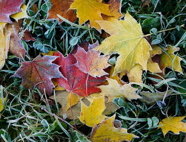 Gelbe und rote ahornblätter sind bei den ersten frösten mit frost bedeckt