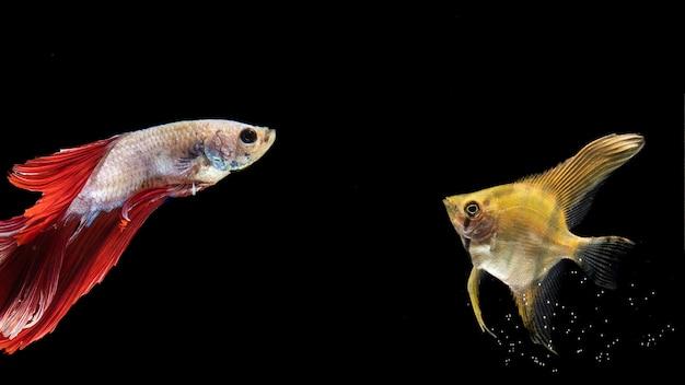 Gelbe und rote betta fischschwimmen