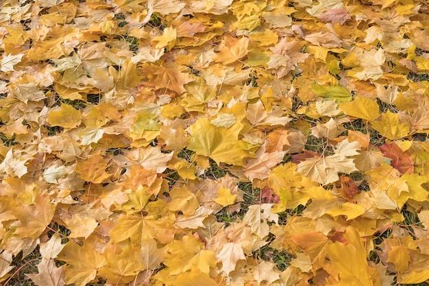 Gelbe und rote blätter liegen auf der straße ahornblätter auf dem asphalt herbstblattfall