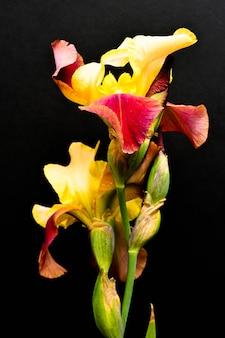Gelbe und rote iris auf einem schwarzen hintergrund