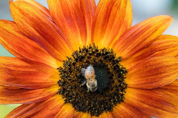 Gelbe und schwarze biene auf orange blume
