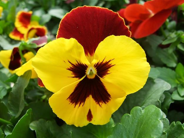 Gelbe und schwarze blumenstiefmütterchen-nahaufnahme der bunten stiefmütterchenblume