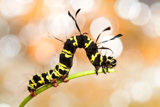 Gelbe und schwarze raupen fressen die jungen triebe der bäume