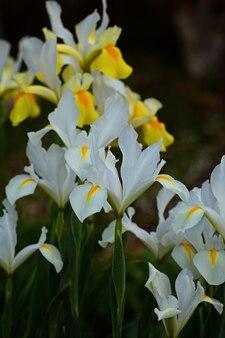 Gelbe und weiße irisblume, die im irisgarten blüht. nahaufnahme