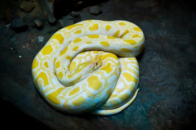 Gelbe und weiße schlange