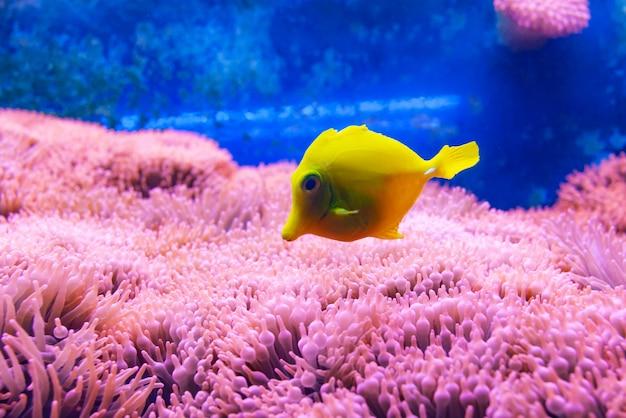 Gelbe zapfenfische