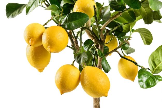 Gelbe zitronen auf einem dekorativen eingetopften zitrusbaum lokalisiert auf weiß
