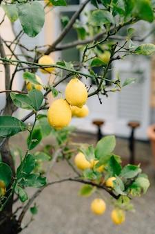 Gelbe zitronenfrucht auf den zweigen des baumes zwischen dem mit regentropfen bedeckten laub