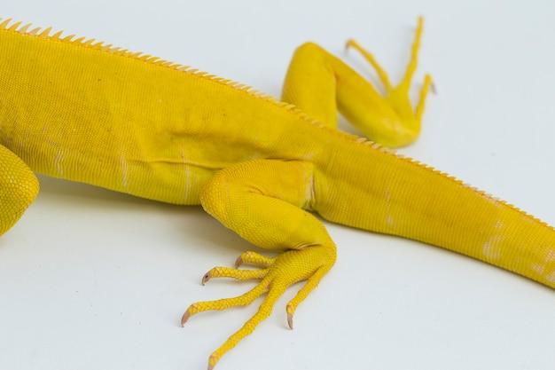 Gelber albino-leguan isoliert auf weißem hintergrund