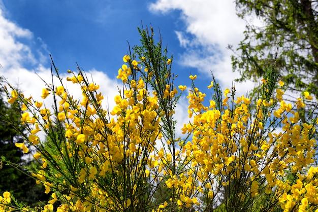Gelber besen mit einem schönen blauen himmel