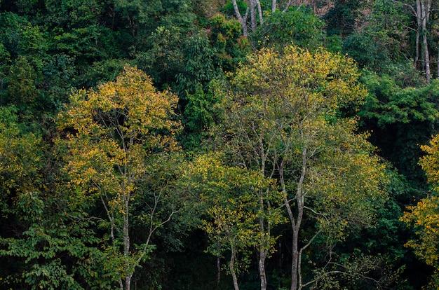 Gelber blattbaum-grünfrühling am teebauernhof organischer teebauernhof 2000 doi ang khang chiang mai thailand