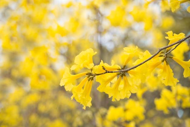 Gelber blumenhintergrund, tabebuia chrysantha nichols, talg pui, goldener baum im sommer