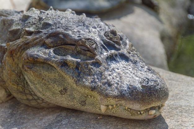 Gelber chat-alligator im freien in rio de janeiro brasilien.