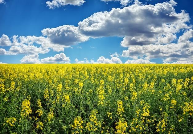 Gelber feldraps in voller blüte mit blauem himmel und weißen wolken
