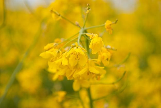 Gelber feldraps in voller blüte